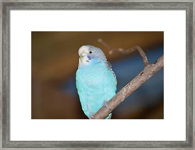 Parakeet Framed Print by Linda Geiger