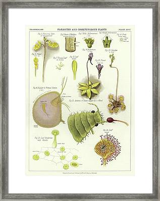Parasites And Insectivorous Plants Framed Print by English School