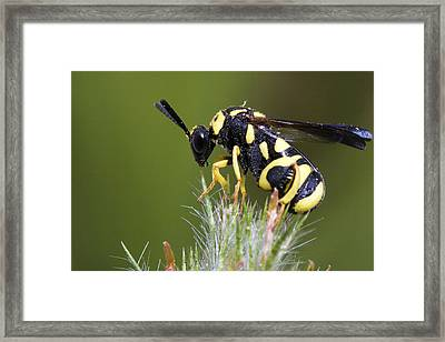 Parasitic Chalcid Wasp Framed Print by Andre Goncalves