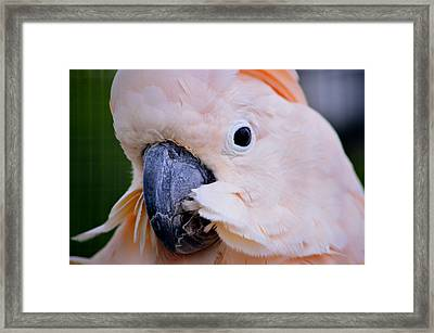Pink Moluccan Cockatoo Parrot Framed Print by Srinivasan Venkatarajan