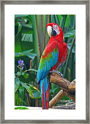 Parrot Framed Print by Dawn Harris
