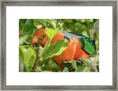 Framed Print featuring the photograph  Parrot In Apple Tree by Werner Padarin