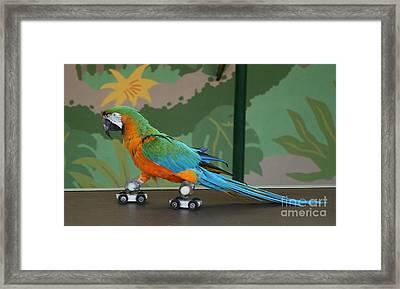 Parrot On Skates Framed Print by Ruth Hallam