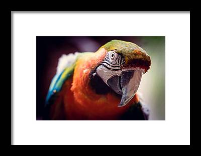 Parrot Framed Prints