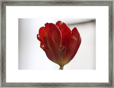 Parrot Tulip 10 Framed Print by Robert Ullmann