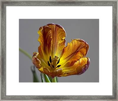 Parrot Tulip 22 Framed Print by Robert Ullmann