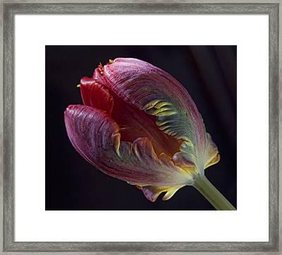 Parrot Tulip 5 Framed Print by Robert Ullmann
