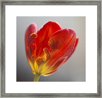 Parrot Tulip 9 Framed Print by Robert Ullmann