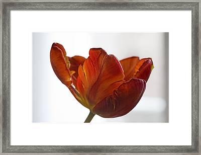 Parrot Tulips 20 Framed Print by Robert Ullmann