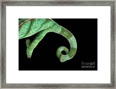 Parson Chameleon, Calumma Parsoni On Black Background, Top View Framed Print by Sergey Taran
