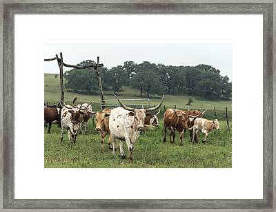 Part Of The 200-head Longhorn Herd At The Lonesome Pine Ranch Framed Print by Carol M Highsmith