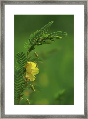 Partridge Pea - 2 - Wildflower Framed Print by Nikolyn McDonald