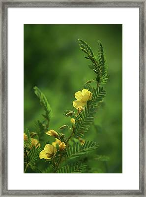 Partridge Pea - Wildflower Framed Print by Nikolyn McDonald