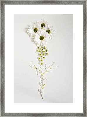 Parts Of A Daisy  Framed Print