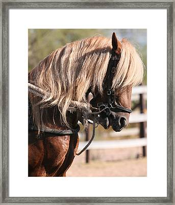Paso Fino Stallion Framed Print by Wendi Curtis