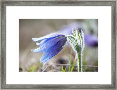Pasque Flower's Silver Grey Hair Framed Print