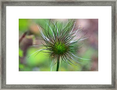 Pasque Fluff Framed Print