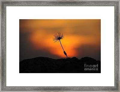 Pasqueflower At Sunset Framed Print