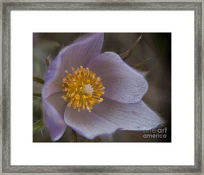 Pasqueflower Blossom Framed Print