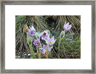 Framed Print featuring the photograph Pasqueflower by Michal Boubin