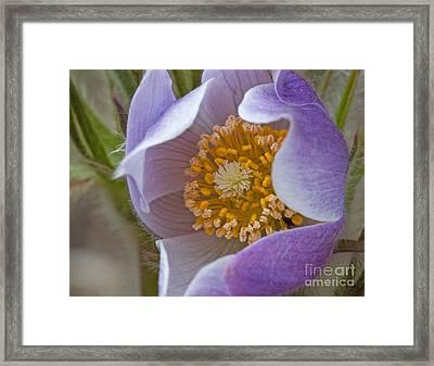 Pasqueflower Promise Framed Print