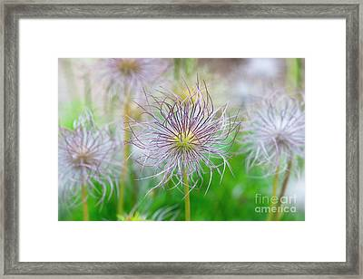 Framed Print featuring the photograph  Pasqueflower Seed Heads by Tim Gainey