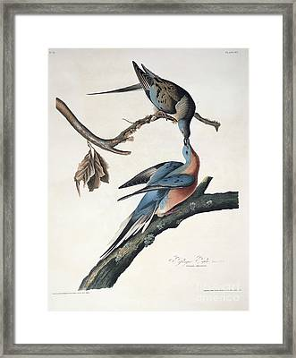 Passenger Pigeon Framed Print by John James Audubon
