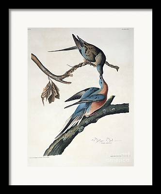 Columba Framed Prints