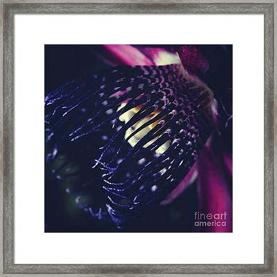 Passiflora Alata - Winged Stem Passion Flower - Ruby Star - Ouva Framed Print by Sharon Mau