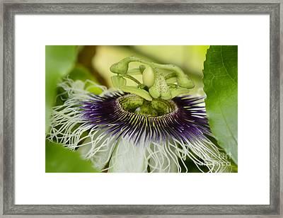 Passiflora Edulis Frederick Flower  Framed Print by Olga Hamilton