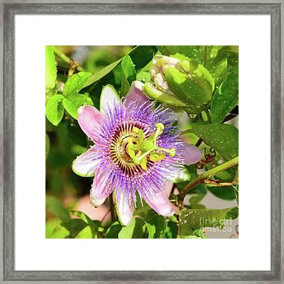 Passiflora Framed Print by Olga Hamilton
