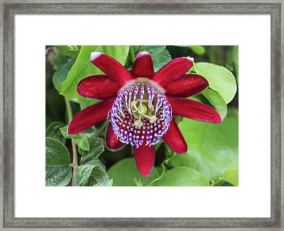 Passiflora Ruby Glow. Passion Flower Framed Print