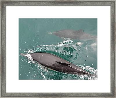 Passing Dolphins Framed Print by Timothy OLeary