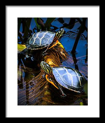 Painted Turtle Photographs Framed Prints