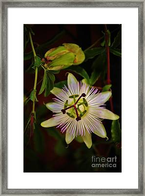 Passion Blossom Framed Print by Craig Wood