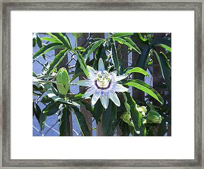 Passion Flower Framed Print by Allissa Payne