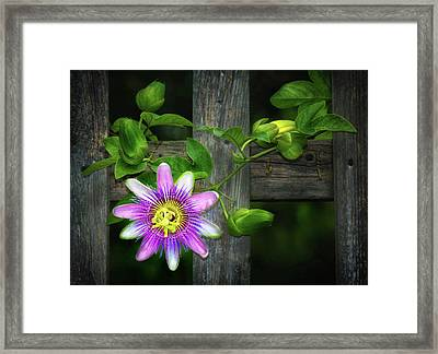 Passion Flower On The Fence Framed Print