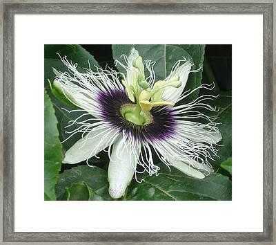 Passion Flower  - Passiflora Edulis Var. Flavicarpa Framed Print