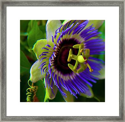 Passion-fruit Flower Framed Print by Betsy Knapp