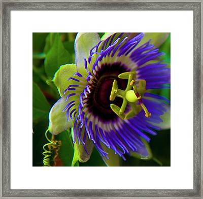 Passion-fruit Flower Framed Print by Betsy C Knapp