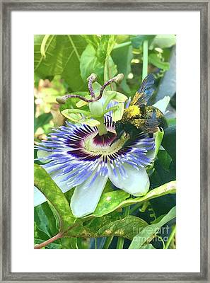Passion Fruit Flower With Bee Framed Print
