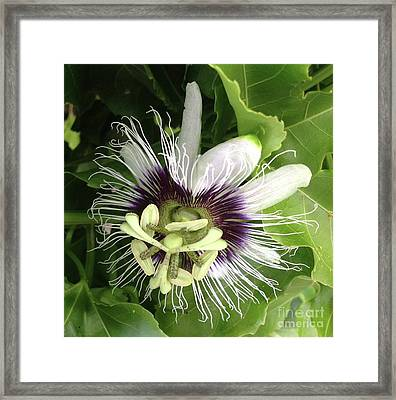 Passion Of A Flower Framed Print by Karen Moren
