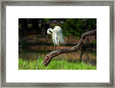 Passionate About Preening Framed Print