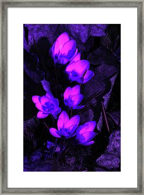 Passionate Blooms Framed Print by Karol Livote