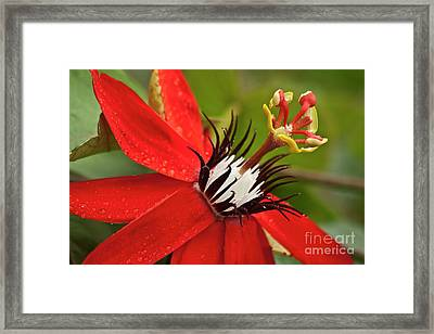Passionate Flower Framed Print by Heiko Koehrer-Wagner