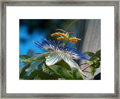 Passionflower Framed Print by Racquel Morgan