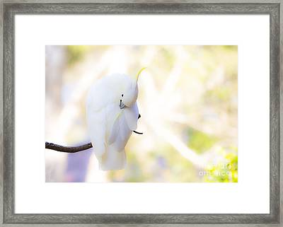 Pastel Cockatoo Framed Print by Avalon Fine Art Photography