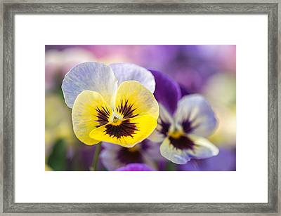 Pastel Pansies Framed Print