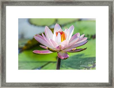 Pastel Petals Framed Print by Liesl Walsh