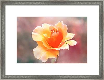 Pastel Rose Framed Print